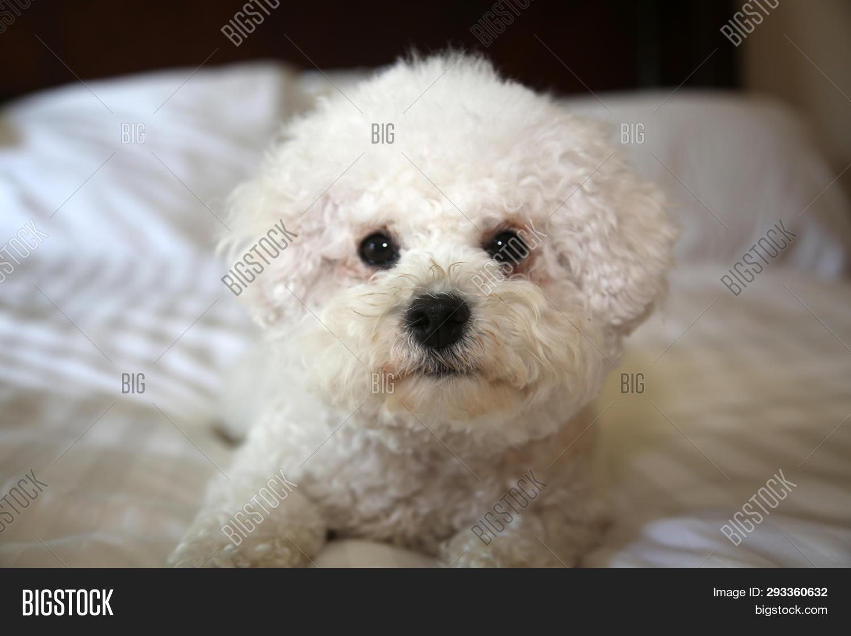 Bichon Frise Dog  Image & Photo (Free Trial) | Bigstock