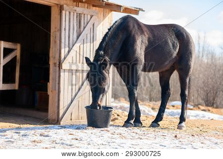 One Black Horse Is Drinking A Water From A Plastic Bucket Near The Stable In Outdoors.