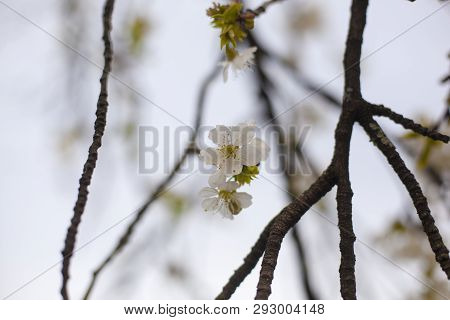 Close Up Of A Cherry Blossom With A Shallow Dept Of Field