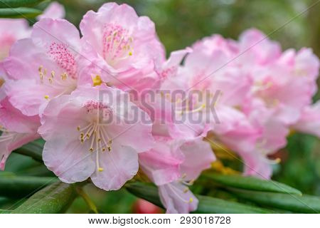 Rhododendron Im April 3 - 2.4.2019