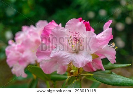 Rhododendron Im April 2 - 2.4.2019