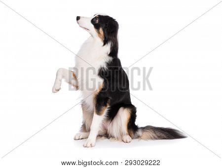 Portrait of cute young Australian Shepherd dog sitting on floor, isolated on white background. Beautiful adult Aussie, frontal and looking upward.