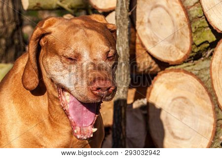 Hungarian hound in the forest. Hound. Spring evening with dog. Loyal friend. poster