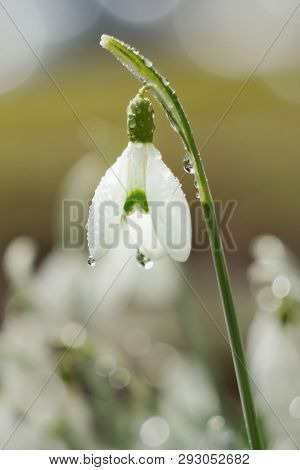 First Snowdrop Growing From Snow. Close-up White Spring Flowers. Galanthus Nivalis. Awakening Nature