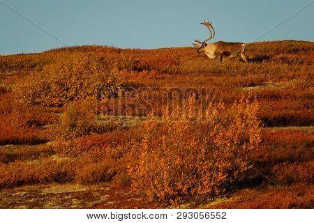 Big Caribou Male In Denali National Park In Fall Season, Alaska