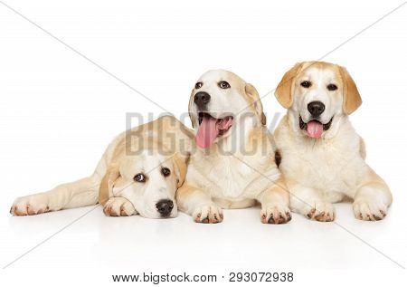 Group Of Central Asian Shepherd Puppies Lying On White Background. Animal Themes
