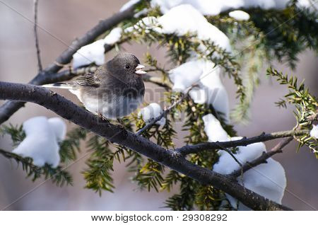 A Dark-eyed Junco Perched in the Snow poster