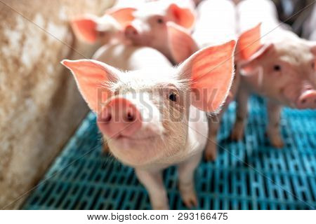Close Up Of Pigs Snout At Domestic Farm