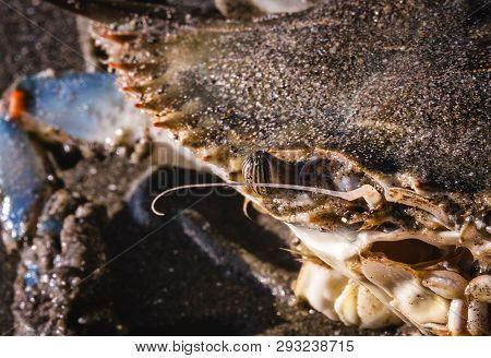 The Crayfish (Callinectes sapidus), Syri-tinga or simply Crab, is a small decapod crustacean found in the coastal waters. poster