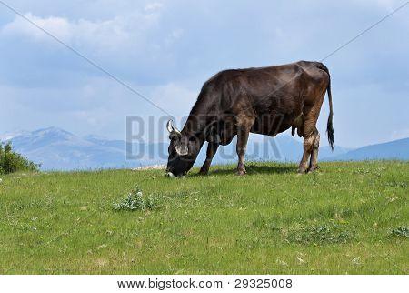 Cow feeding on a hill