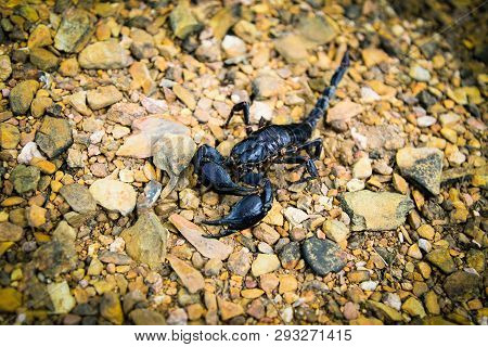 The Black Emperor Scorpion Dead On The Rock Ground / Pandinus Imperator