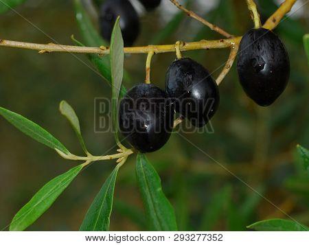 Black Olives , Oil , Olive Tree , Oleic Acid , Healthy Fat