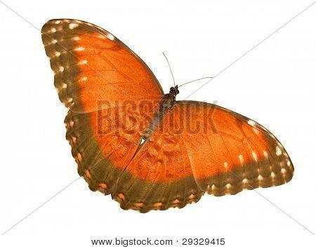 macro photo of orange butterfly isolated on white background