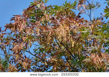 European Ash Or Fraxinus Excelsior With Seeds In The Autumn. Genoa, Italy