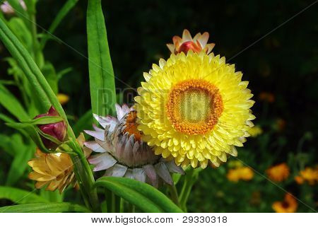 Helichrysum Flowers Suitable For Drying