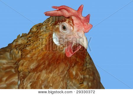 Portrait Of A Red Chicken Outdoor