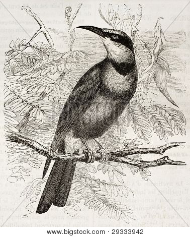 Rainbow Bee-eater old illustration (Meropa ornatus). Created by Kretschmer and Jahrmargt, published on Merveilles de la Nature, Bailliere et fils, Paris, ca. 1878 poster