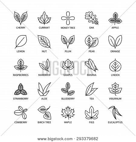 Useful Leaves Linear Icons Vegan Analysis Vector Set Of Design Elements Leaf Tree Bush Berry Healthy