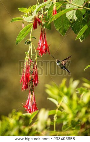 Colared Inca Howering Next To Red Flower, Colombia Hummingbird With Outstretched Wings,hummingbird S