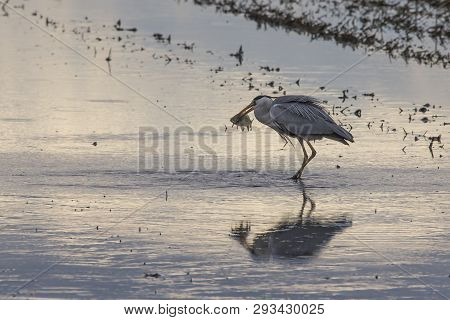 Grey Heron (ardea Cinerea) Fishing In A Rice Field In A Tilling Day At Sunset In Albufera Of Valenci