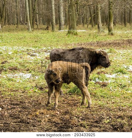 Aurochs, Young Animals In The Forest. The European Bison (bison Bonasus), Also Known As Wisent Or Th