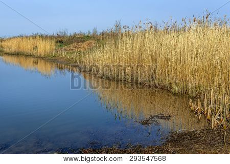 Many Dry And Yellowed Reed Or Phragmites Australis Plants With Their Seed Heads Reflected In The Mir