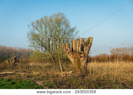 Just Pruned Old Pollard Willow Tree In The Dutch National Park Biesbosch In North Brabant. It Is Ear