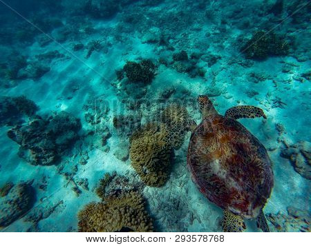 A Green Sea Turtle Swimming Above Coral Reef In Beautiful Clear Water, Great Barrier Reef, Cairns, A