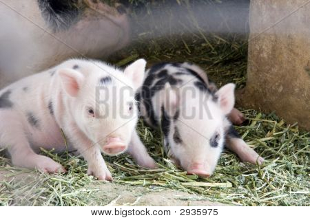 Two One Week Old Baby Piglets