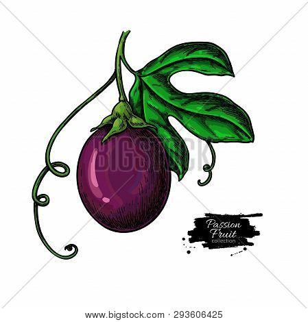 Passion Fruit Branch Vector Drawing. Hand Drawn Tropical Food Illustration. Summer Passionfruit