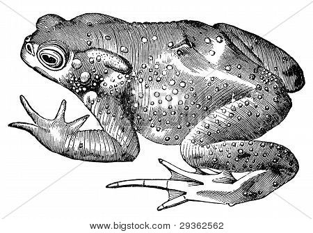 """The common toad vintage illustration. Sourced from antique book """"The Playtime Naturalist"""" by Dr. J.E. Taylor published in London UK 1889. poster"""