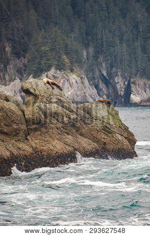 A Group Of Steller Sea Lions On A Rocky Shoreline In Alaska