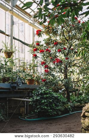Vertical Photo Of The Blooming Colorful Red Rhododendron Flowers In Hothouse. Evergreen Heather Plan
