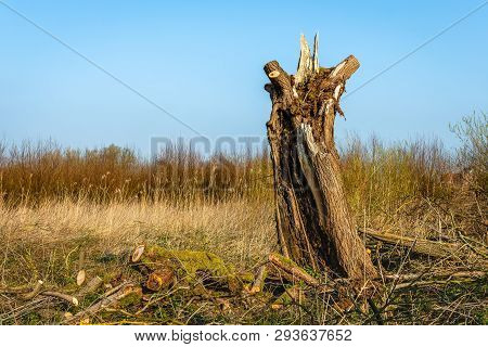 Old Willow Tree With A Decayed Trunk Against A Bright Blue Sky. The Photo Was Taken In The Oostwaard