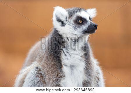 Portrait Of A Cute Ring Tailed Lemur, Lemur Catta .