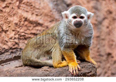 Cute Squirrel Monkey Saimiri Sciureus . Funny Monkey