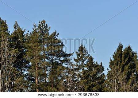 Trees In The Spring Forest On A Background Of Blue Sky