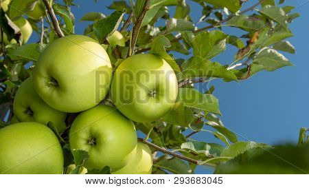 Large Ripe Apples Clusters Hanging Heap On Tree Branch In An Intense Apple Orchard