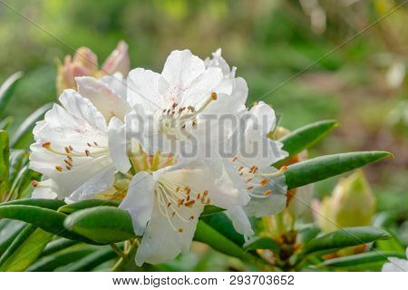 Blossoming White Rhododendron (wardii Var. Puralbum) In Spring. Close-up Of A Shrub With Flowering W