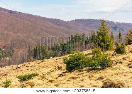 Early Spring In Mountains. Meadow With Weathered Grass. Spruce Forest In The Distance. Wonderful Sun