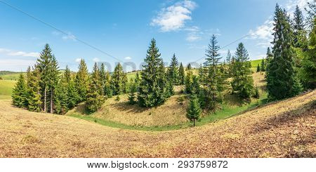 Panorama With Spruce Trees On A Humps. Beautiful Carpathian Countryside With Grassy Meadows. Blue Sk