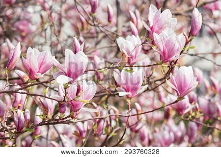Pink Magnolia Blossom. Twigs With Beautiful Tender Flowers.