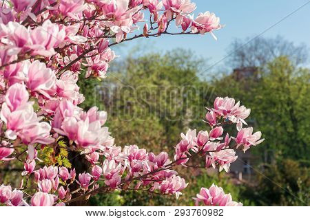 Pink Magnolia Blossom. Twigs With Beautiful Tender Flowers. Wonderful Springtime Scenery In The Park