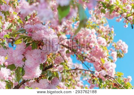 Buds Of Cherry Blossom. Branches With Beautiful Tender Flowers. Wonderful Springtime Background In T