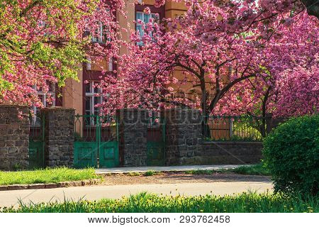 Streets Of Old Town In Sakura Blossom. Beautiful Urban Scenery In Springtime. Wonderful Sunny Weathe