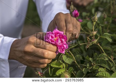 Hands Collecting Rose Petals For Rose Water Making In Oman