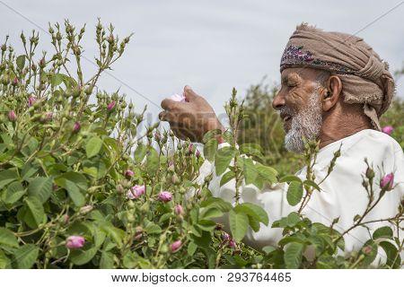 Jabal Al Akhdar, Oman, 7th April 2016: Old Man Piclking Rose Petals