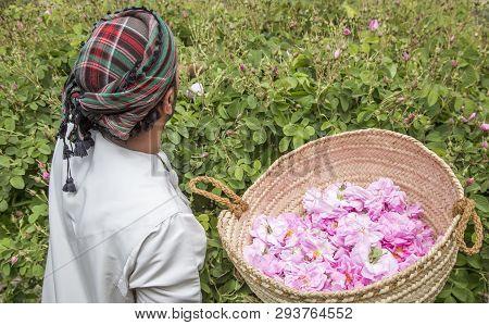 Jabal Al Akhdar, Oman, 7th April 2016: Omaniman Picking Rose Petals Into A Traditionl Basket