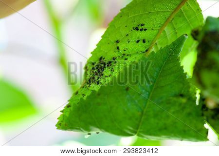 Aphids Damage Leaves Parasite Pest. Aphidoidea Colony Damages Trees In The Garden By Eating Leaves.