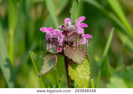A Dead Nettle Stands On A Green Meadow In The Morning Dew